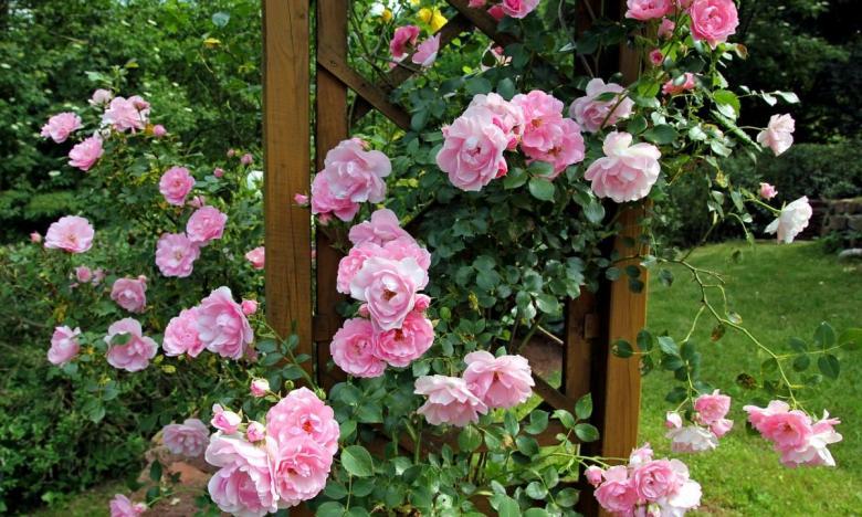 Rosa rampicante in giardino