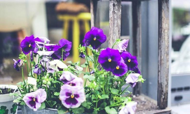 violette con lanterna