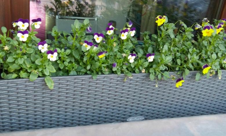violette in vaso