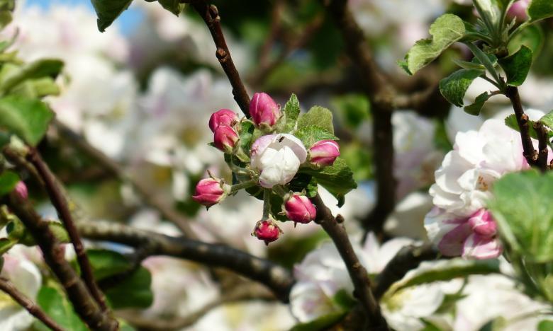 Alberi da frutta per il tuo giardino